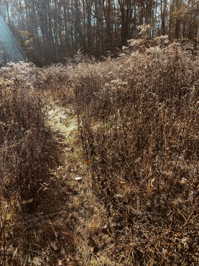Singletrack with 5 ft tall grasses.